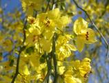 The bright flowers of the Palo Verde tree can literally cover the tree in a blanket of yellow. The Palo Verde is the state tree of Arizona.