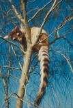 The Ringtail (Bassariscus astutus) is a nocturnal animal well adapted to the park's rocky terrain. A good mouser, it is sometimes called