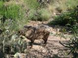 This handsome and hungry Javelina is enjoying some prickly pear for lunch.