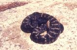 The Arizona Black Rattlesnake (Crotalus oreganus) is the dark race of the Western Rattler, found at high elevations in Arizona's mountain woodlands.
