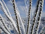 Snow wraps itself around the thorns of the Ocotillo.