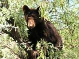 juvenile black bear sitting in mesquite tree