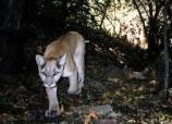mountain lion walking along Upper Cliff Dwelling trail