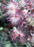 fairy duster flowers