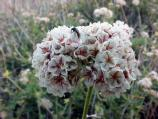 flat-top buckwheat flowers