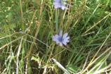 Although this Common Chicory, Cichorium intybus, is surrounded by grasses you can still see the characteristic squre-tipped petals each with five teeth.