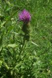 This bright purple thistle was found flowering near Tavasci Marsh. The constant water found in the marsh allows for plant life not found on the hill.