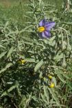 This photo of Silverleaf Nightshade not only shows the flower, but also the berries and the elongated leaf that gives the plant its name. Both the leaves and the berries are poisonous.