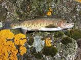 Yellowstone cutthroat trout near stream.