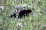 Black bear with cub near Pebble Creek; July 1992; Accession No. 14842