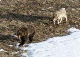 A wolf from the Leopold pack trails a grizzly bear.