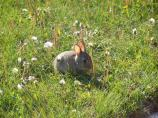 This baby cottontail is feeding on the grass and dandelion stems.