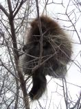 This porcupine is sitting in a tree in the picnic area near the visitor center.