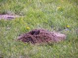 This is an unusual photo of a pocket gopher digging his mound.