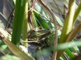 Leopard frogs live in the Niobrara River secreted in the cattail leaves.