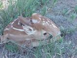 Fawn hiding in the grass near the Fossil Hills Trail.