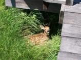 White-tail fawn laying under boardwalk.