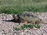 Snapping turtle on a gravel road where they lay their eggs.