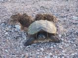 This snapper is laying her eggs on the gravel road.