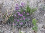 Tufted milkvetch (May to June) Astragalus spatulatus