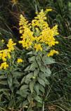 Canada goldenrod (July to Sept.) Solidago canadensis