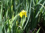 Small yellow iris in  a sea of green leaves.
