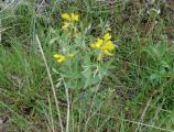 One of the first flowers that bloom in the spring, its showy yellow flowers brighten the badlands.
