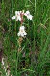 Also known as white beardtongue, this plant grows up to 16 inches tall and has several stems filled with white flowers.