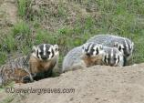 Family of 4 badgers. Mama and three babies