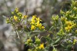 Rubber rabbitbrush is a shrub eaten by a variety of animals.