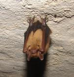 color photo of bat haning from roof of cave