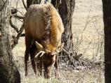 color photo of elk with small antlers, head down grazing among trees