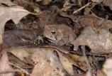 color photo of brown toad among brown leaves