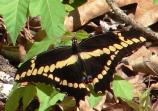 color photo of large black with yellow spots butterfly on the gorund among brown and green leaves