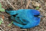 color photo of blue bird on ground