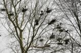 Great blue heron nests in the trees at Bath Rd Heronry
