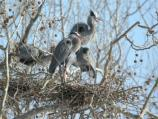 A family of great blue herons in their nests at Station Rd Heronry