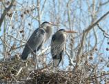 A pair of great blue herons looks on from their nest at Station Rd Heronry