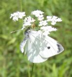 European cabbage white, Pieris rapae, flies in May-November. Most common in open areas.