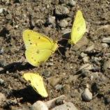 Orange sulphur (also known as alfalfa butterfly), Colias eurytheme, flies in April-December. Most common in open areas.