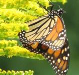 Monarch, Danaus Plexippus plexippus, flies July-Oct. Most common in open habitat.