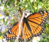 Viceroy, Limenitis archippus archippus, flies June-Aug. Most common in open areas, among willows.