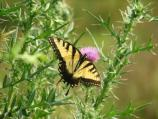 Tiger swallowtail, Papilio glaucus glaucus, flies March-Sept. Most common in deciduous forest.