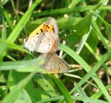 American copper, Lycaena phlaeas americana, flies in May-July and September. Most common in old fields.