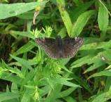 Wild indigo duskywing, Erynnis baptisiae, flies May-Aug. Most common in prairie openings.