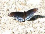 Red-spotted purple (also known as white admiral), Limenitis arthemis arthemis, flies May-Aug. Most common in deciduous woods.