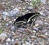 Black swallowtail, Papilio polyxenes asterius, flies May, July, and August. Most common in old fields.