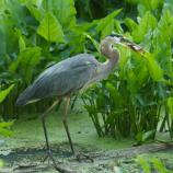 Great blue heron catches fish.