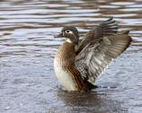 Female wood duck flaps its wings in the water.