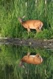 White-tailed deer pauses at water's edge.